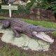 Bahama Bay Resort alligator