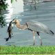 Blue Heron Bird With Fish at Blue Heron Resort in Orlando, Florida. Relax and have fun during your Valentines Day Romantic Getaway.