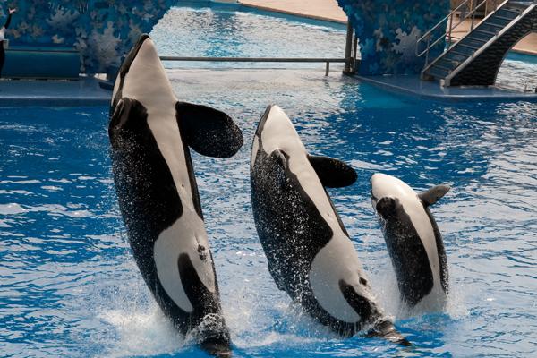 Killer Whale Family
